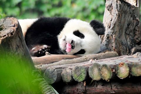 5 Días Chengdu, Leshan y Mt. Emei Tour