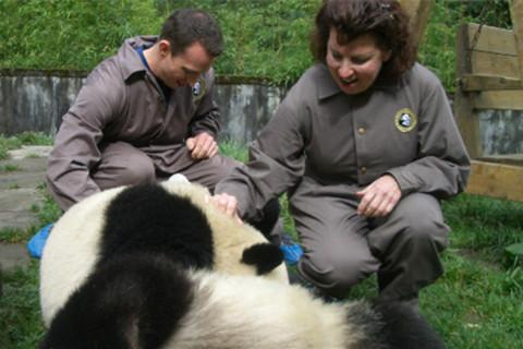 5 Días Chengdu y Base de Panda Bifengxia Voluntario Experiencia Tour